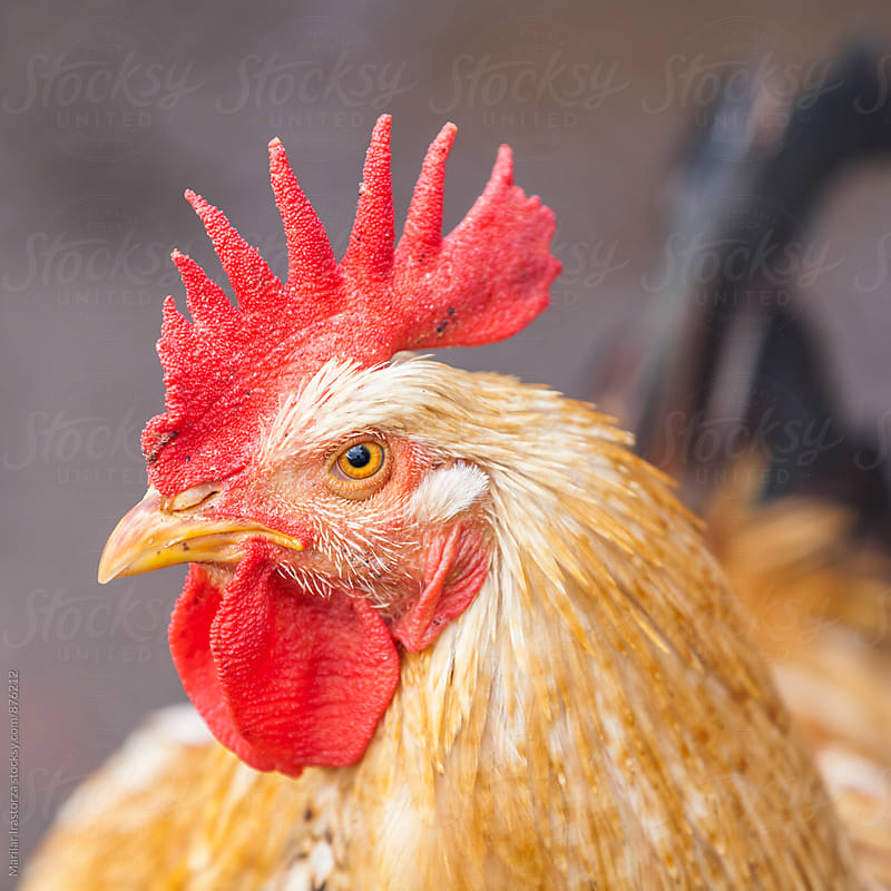 Rooster portrait by Marilar Irastorza for Stocksy United