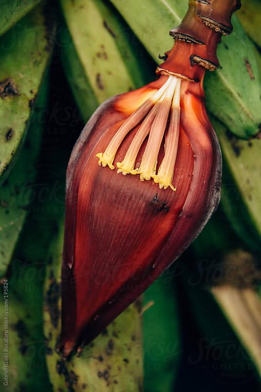 Wild Banana Flower Bud by Gabriel (Gabi) Bucataru for Stocksy United