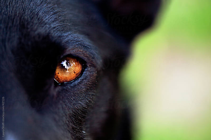 Extreme close-up of brown dog's eye loking straight at the camera by Laura Stolfi for Stocksy United