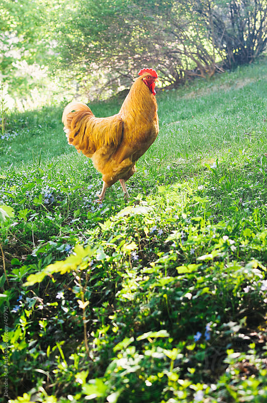 Rooster struts uphill through grass in spring by Deirdre Malfatto for Stocksy United