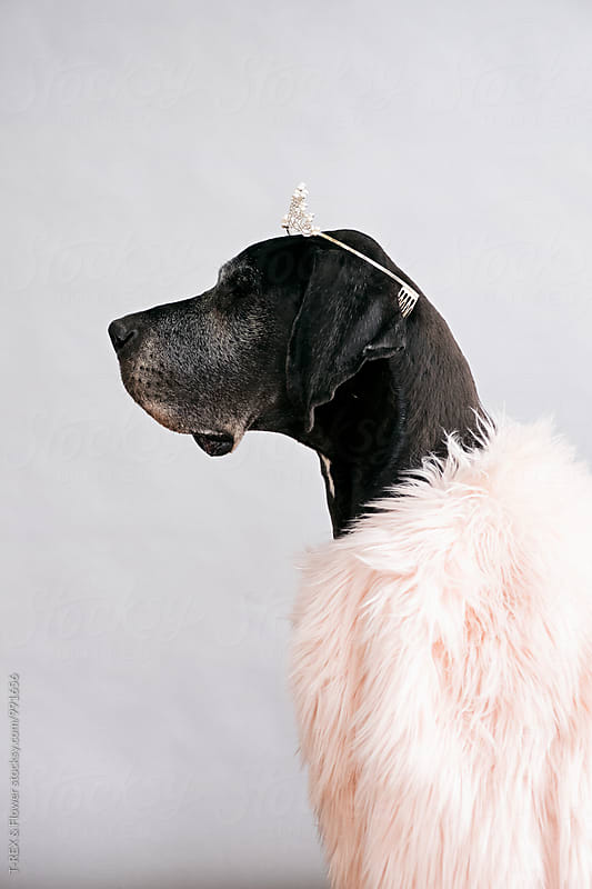Side view of pet in tiara and fur coat by Danil Nevsky for Stocksy United