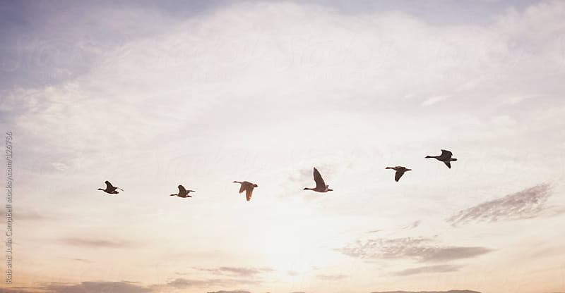Canada geese migrating against beautiful sky background by Rob and Julia Campbell for Stocksy United