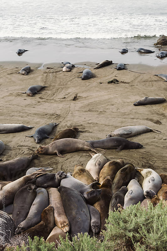 Sea lions on the beach by michela ravasio for Stocksy United