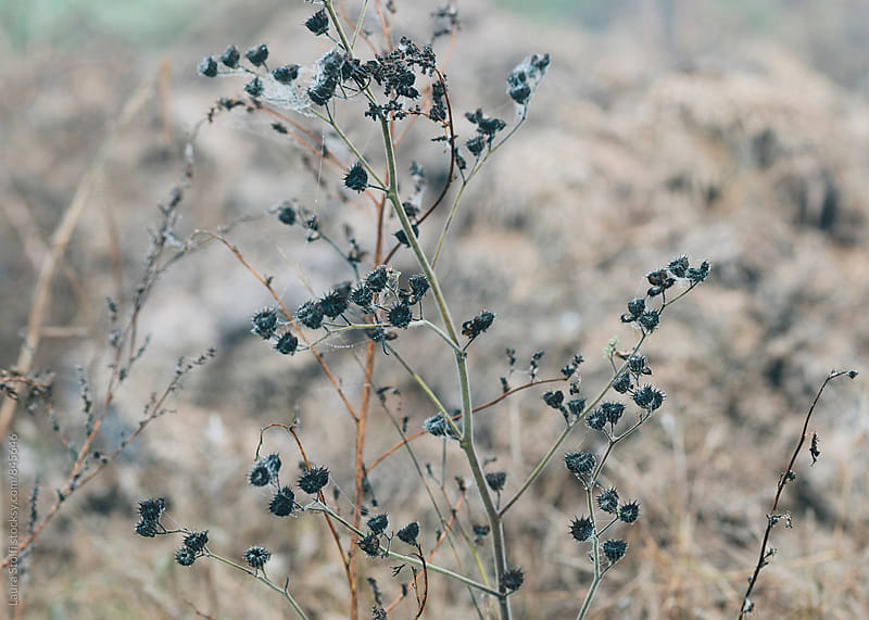 Withered inflorescences on wild grass in winter landscape by Laura Stolfi for Stocksy United