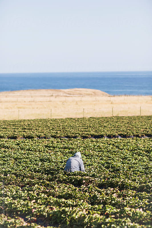 Worker picking strawberries in a field by the sea by Lior + Lone for Stocksy United
