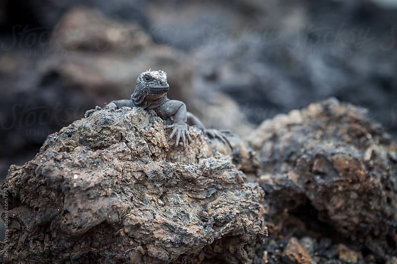 small Iguana  by Shelly Perry for Stocksy United
