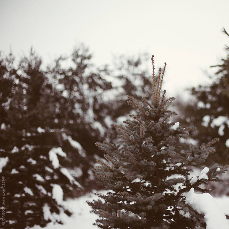 Snow Covered Pines by ALICIA BOCK for Stocksy United