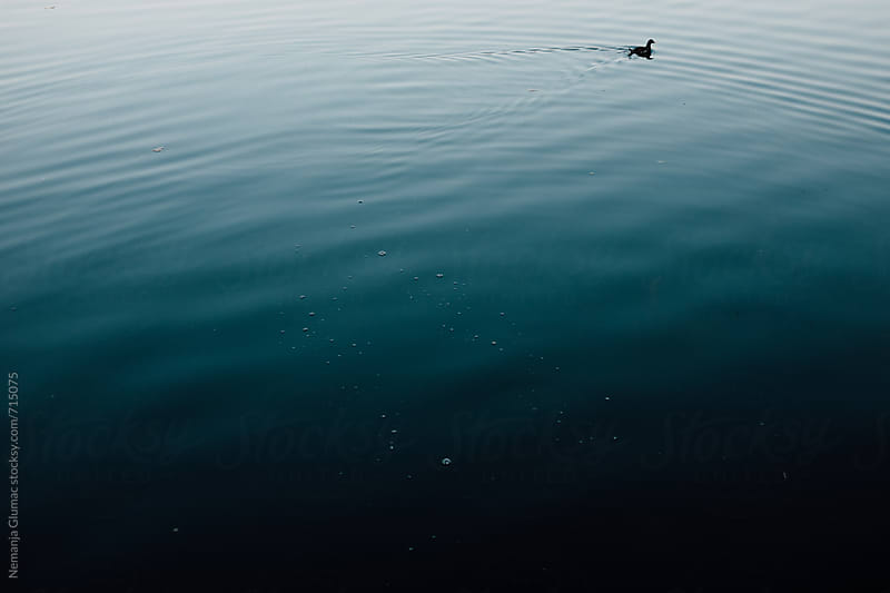 Duck Swimming in Tranquil Dark Blue Water by Nemanja Glumac for Stocksy United