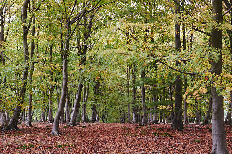 Autumnal woodland of Beech trees blowing in the wind. Norfolk, UK. by Liam Grant for Stocksy United