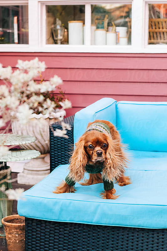 A Cavalier King Charles Spaniel sitting on sofa outside. by J Danielle Wehunt for Stocksy United