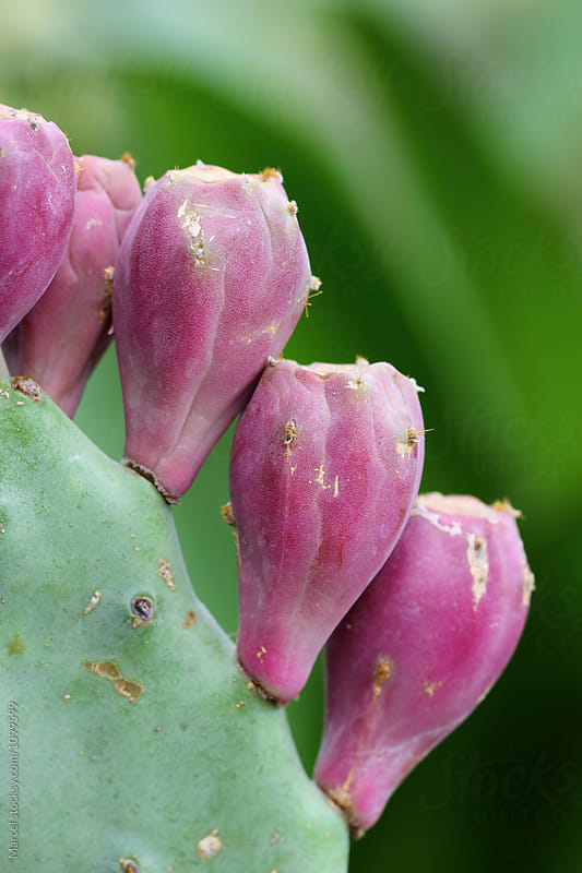 Opuntia cactus fruit by Marcel for Stocksy United