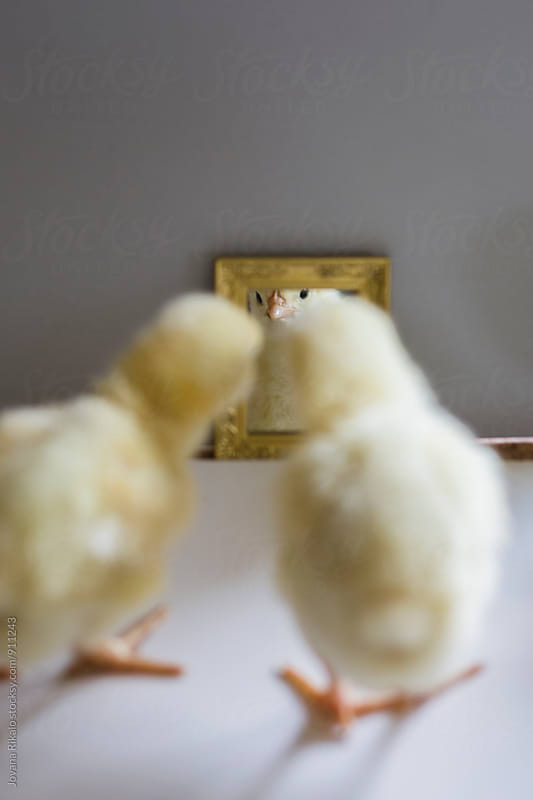 Two chicks looking themselves in the mirror by Jovana Rikalo for Stocksy United