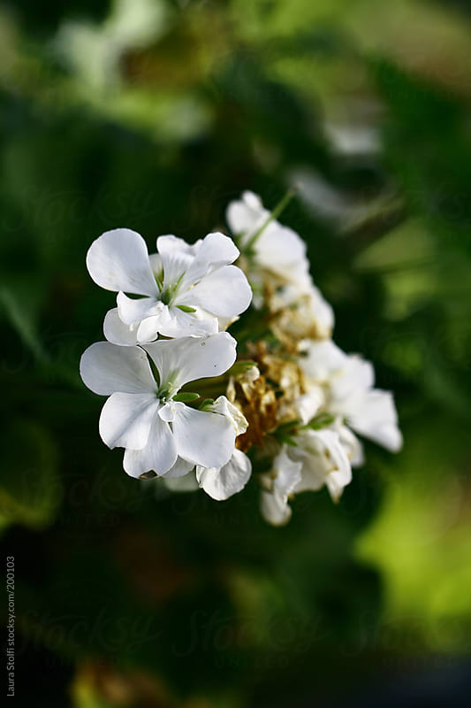 All beauty must die: close-up of white geraniums in flower and whitering in garden by Laura Stolfi for Stocksy United