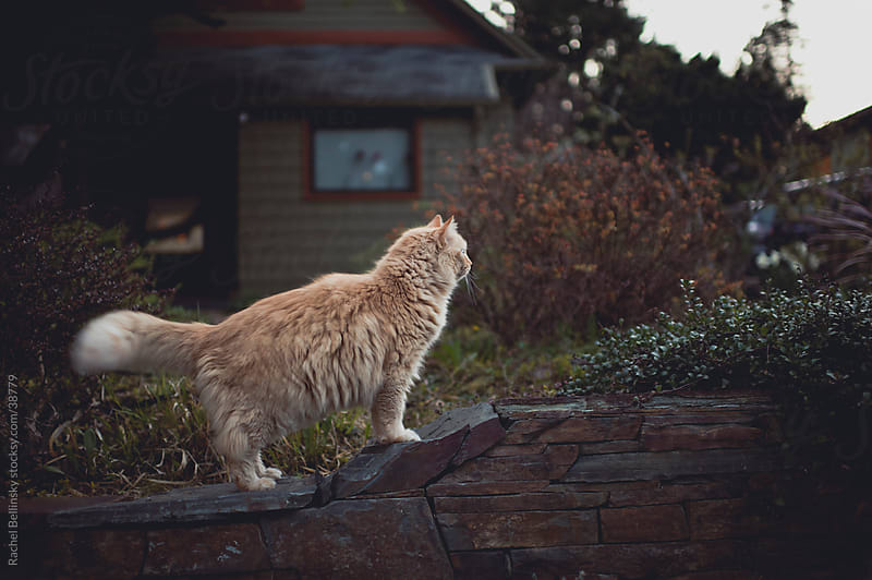 Cat profile looks territorially out at the neighborhood by Rachel Bellinsky for Stocksy United