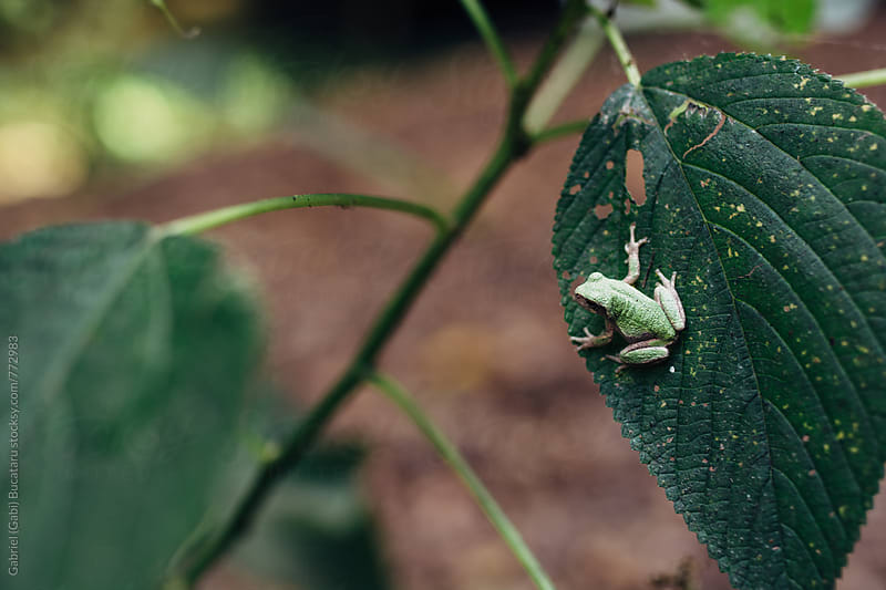 Small green frog sitting on a leaf by Gabriel (Gabi) Bucataru for Stocksy United