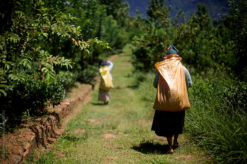 Two women carrying picked tea back to the factory on a tea estate in Sri Lanka by Will Clarkson for Stocksy United
