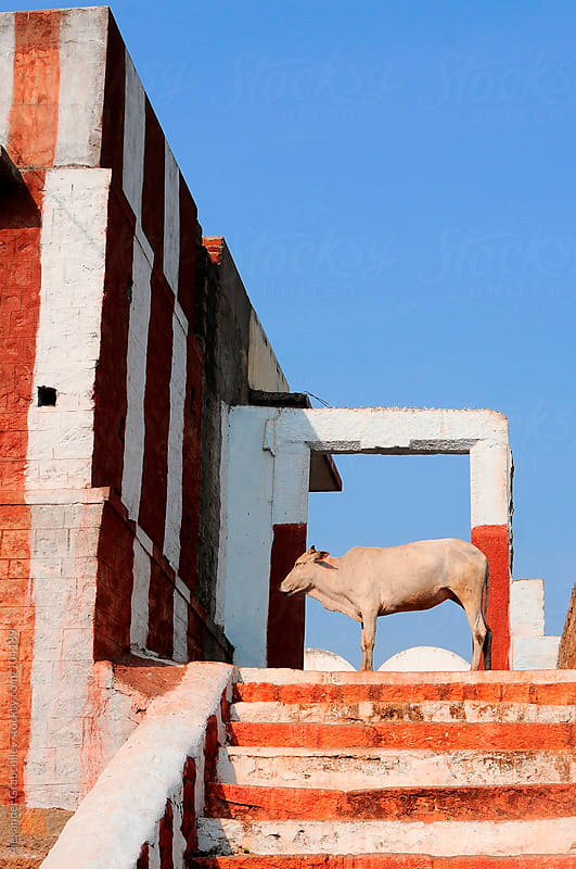 Indian holy cow in geometrical construction by Alexander Grabchilev for Stocksy United