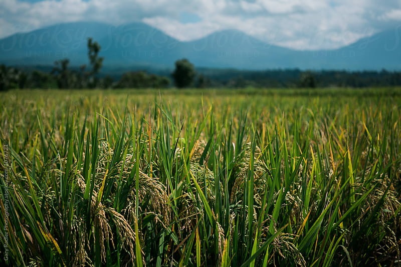 Rice Field in Tabanan Regency, Bali  by Gary Radler Photography for Stocksy United