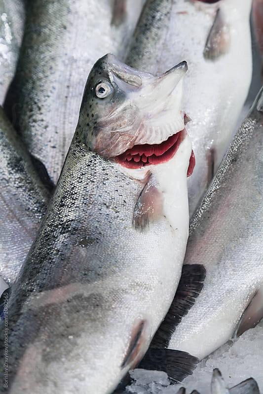 Fresh fish with red gills by Borislav Zhuykov for Stocksy United
