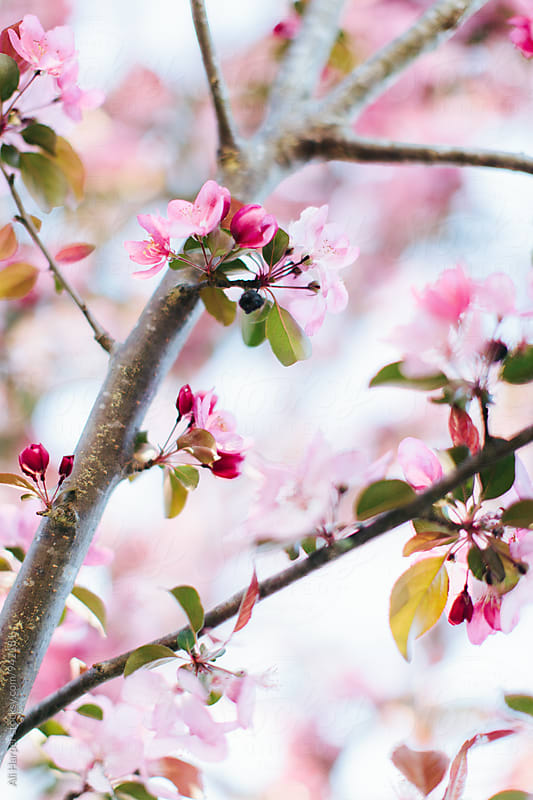Cherry blossom by Ali Harper for Stocksy United