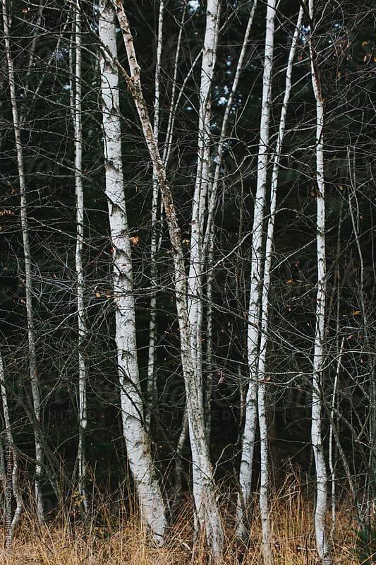 Birch trees by Amir Kaljikovic for Stocksy United