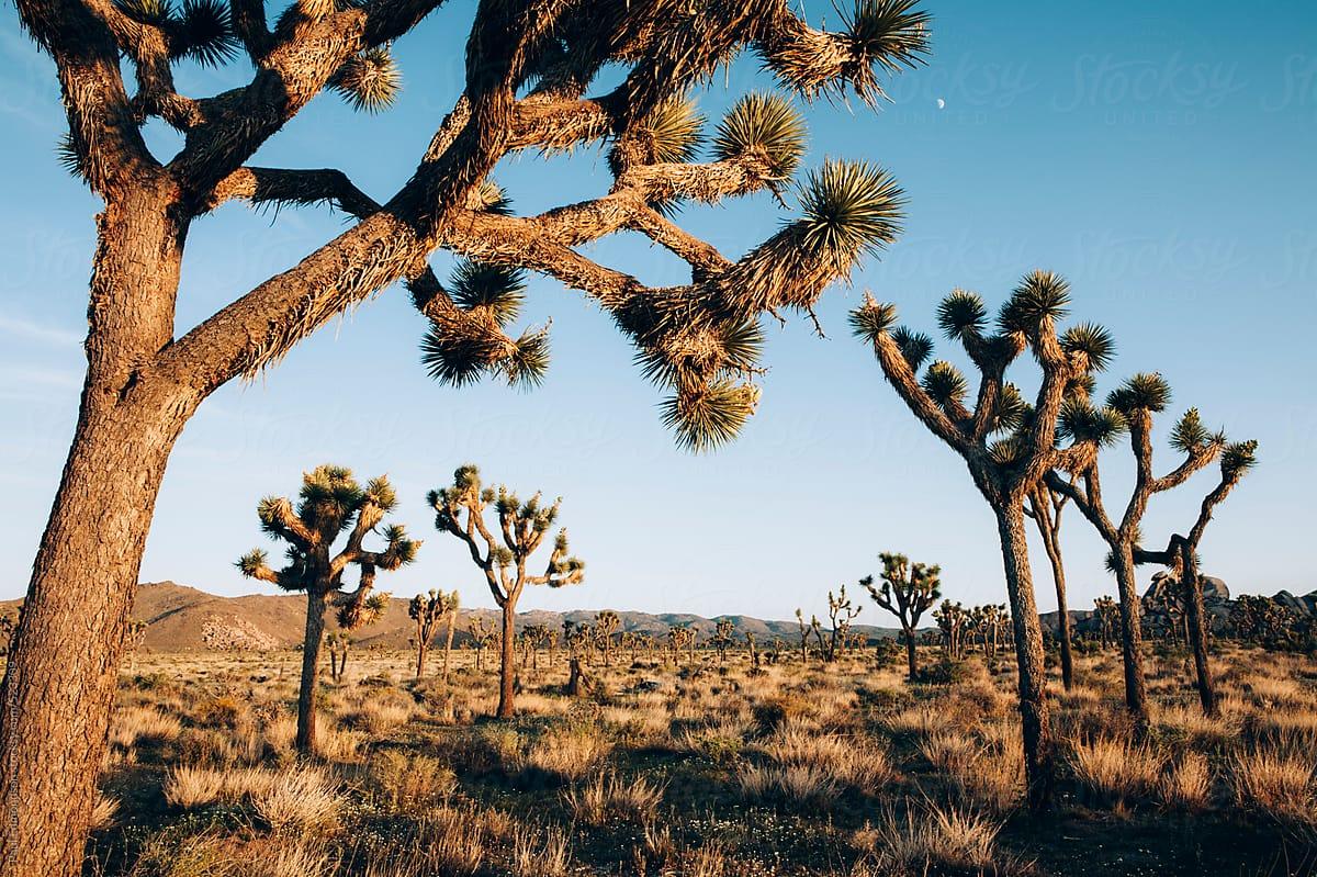 Joshua Trees At Dusk In The Mojave Desert Joshua Tree Np Ca Usa