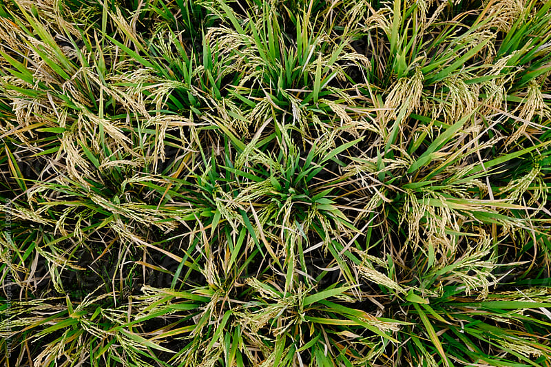 Mature Rice Crop from Above by Gary Radler Photography for Stocksy United