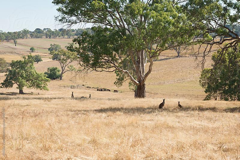 wild kangaroos by Gillian Vann for Stocksy United