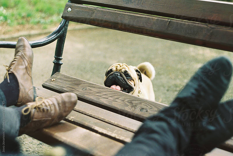 Pug puppy looking at his owner in the park by Jovo Jovanovic for Stocksy United