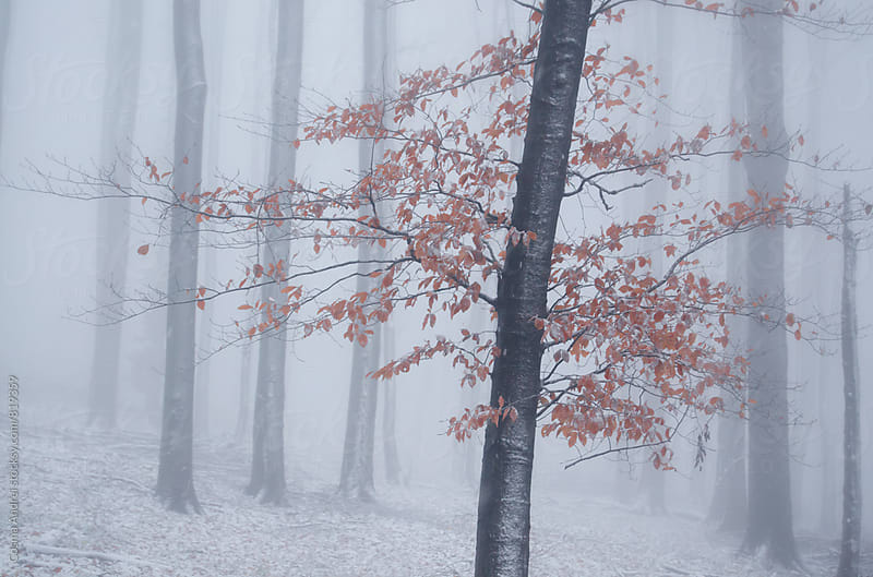Tree with orange leaves in winter forest with snow by Cosma Andrei for Stocksy United