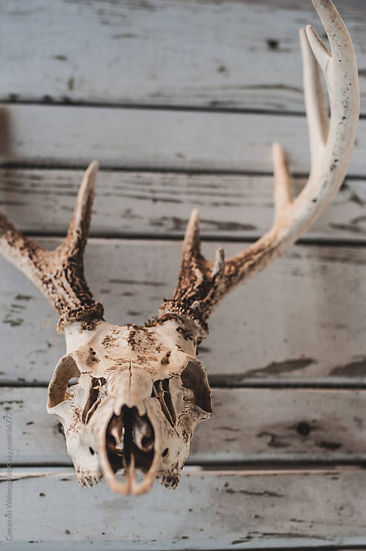 Deer Skull With Full Antlers by Cameron Whitman for Stocksy United