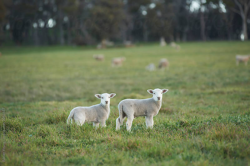 Two Lambs Looking At The Camera by Adrian Young for Stocksy United