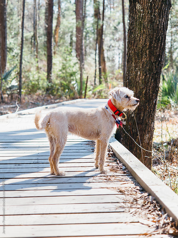 Puppy dog standing on path in woods looking out by Jeremy Pawlowski for Stocksy United
