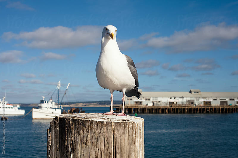 Seagull sitting in the harbor with blue sky by Carolyn Lagattuta for Stocksy United