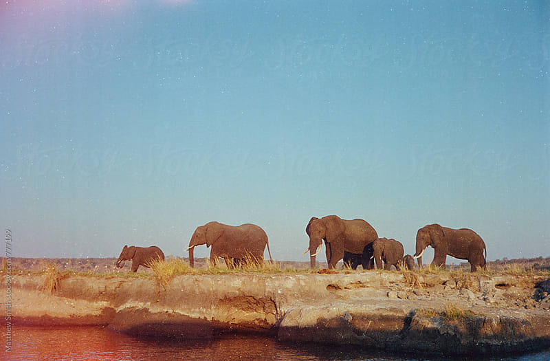 Herd of Elephants In Africa by Matthew Smith for Stocksy United