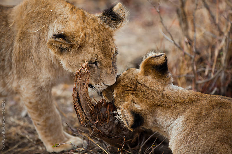 Two Young Lions Sharpening Their Teeth by Mark Pollard for Stocksy United
