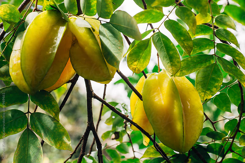 Star fruit on a tree by Gabriel (Gabi) Bucataru for Stocksy United