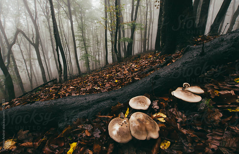 Mushrooms in mysterious forest with fog by Cosma Andrei for Stocksy United