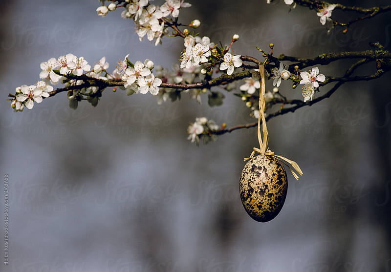 Decorative egg hanging in a blossom tree by Helen Rushbrook for Stocksy United