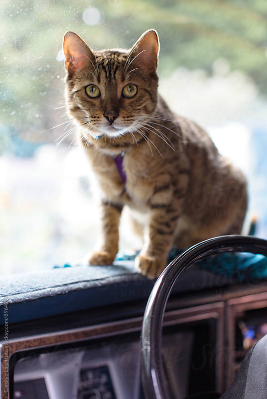 Bengal cat on the dashboard of the old car he lives in by Carolyn Lagattuta for Stocksy United