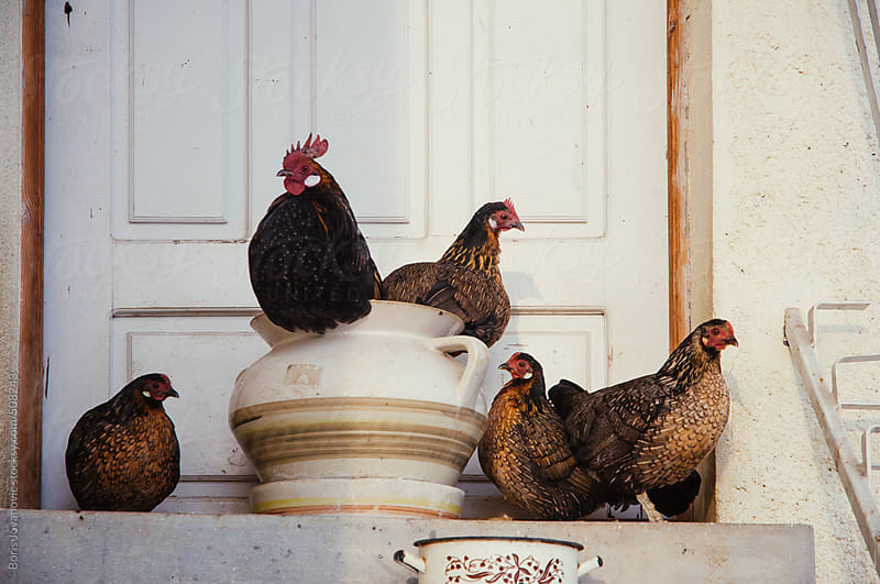 Five chicken standing in front of doors by Boris Jovanovic for Stocksy United