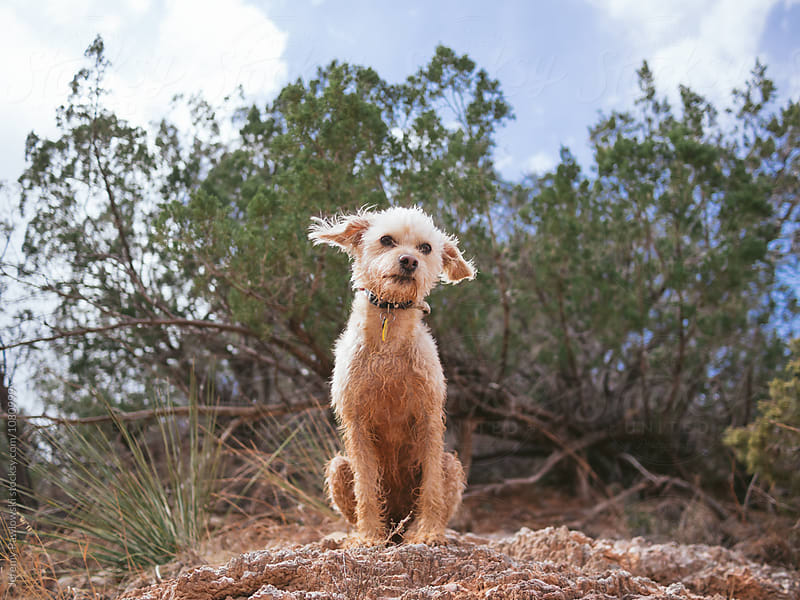 Goofy terrier sitting on hill with ears out staring at camera. by Jeremy Pawlowski for Stocksy United