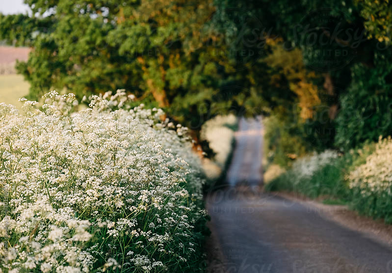 Cow Parsley growing beside a remote rural road at sunset. Norfolk, UK. by Liam Grant for Stocksy United