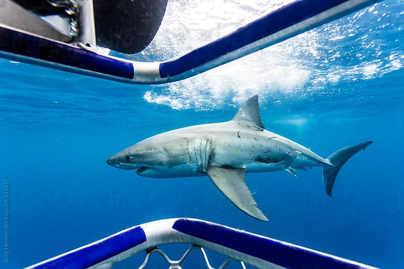 Great white shark by Song Heming for Stocksy United