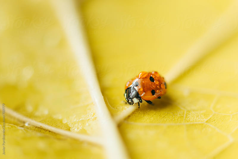 ladybug on the autumn leaves by Javier Pardina for Stocksy United