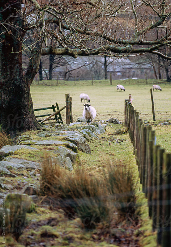 Swaledale sheep stood alert. Cumbria, UK. by Liam Grant for Stocksy United