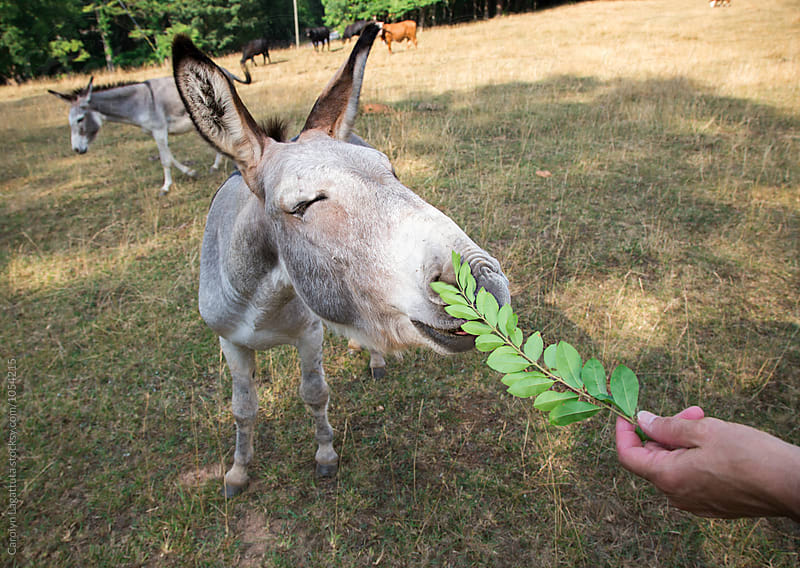 Donkey reaching for a green leaf by Carolyn Lagattuta for Stocksy United