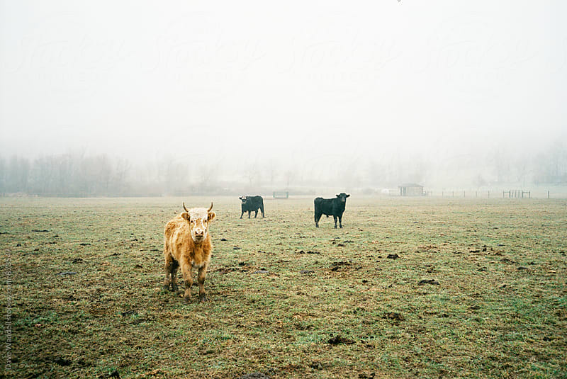 Cows in the Fog by Dave Waddell for Stocksy United