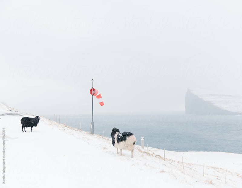 Sheep, Faroe Islands by Kevin Faingnaert for Stocksy United