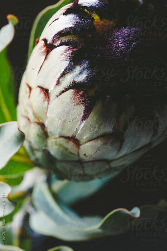 Flower Protea Nerifolia by Nadine Greeff for Stocksy United